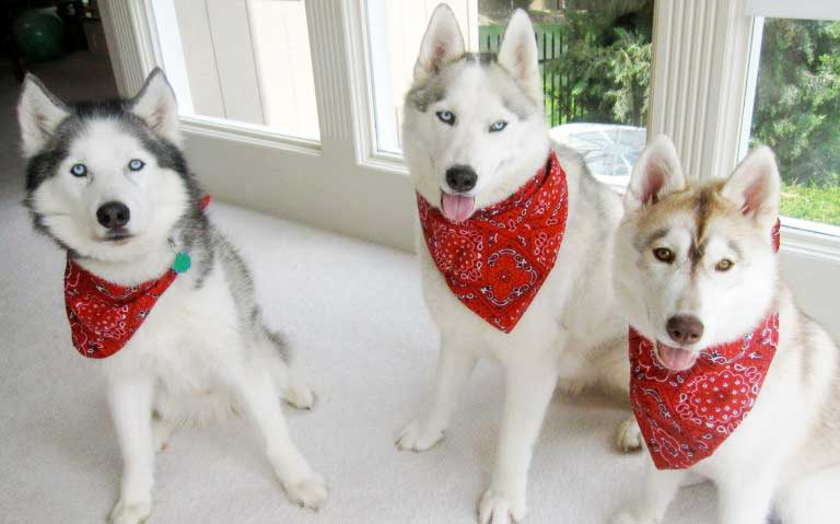 Dog Bandanas will make your dog cute