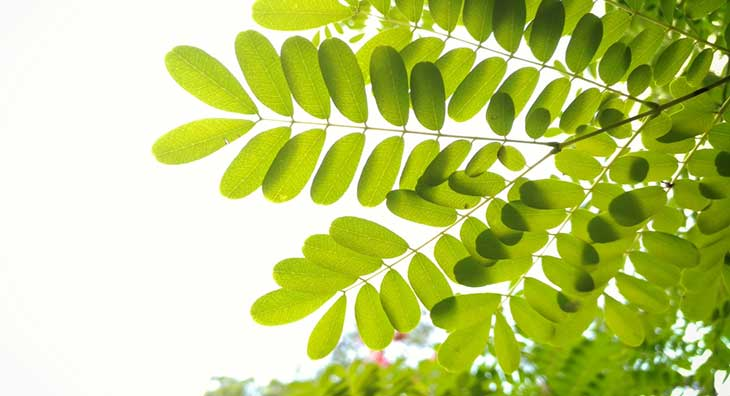 Moringa-Oleifera-potentially-reduces-cholesterol-levels