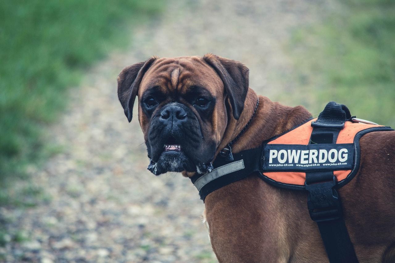 Service Dog Bandana-2